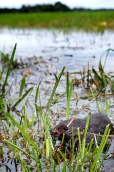 Boeren in Vuren zetten land onder water tegen enorme muizenplaag