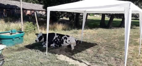 Zieke koe ligt in brandende zon: boer zet partytent op