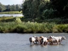 Koeien in de Biesbosch hebben hun eigen 'hitteplan'