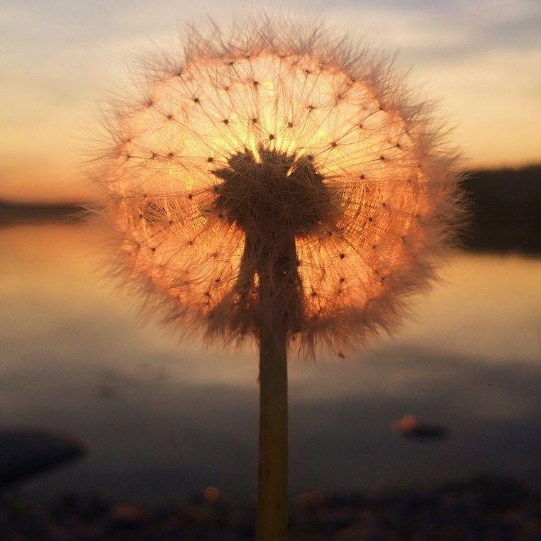 Dandelion Sunset - Sara Ronainen (Finland)