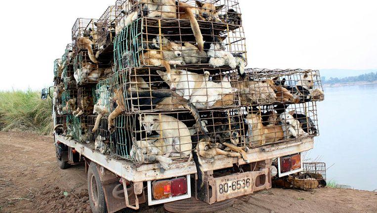 De vrachtwagen met honden wacht op de oever van de Mekong voor de oversteek naar Vietnam. Beeld EPA