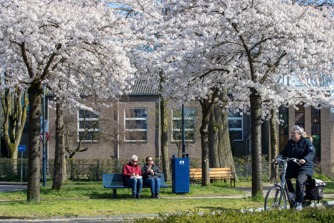 De bloesemzee aan het Bart van Elstplantsoen in Bennekom.