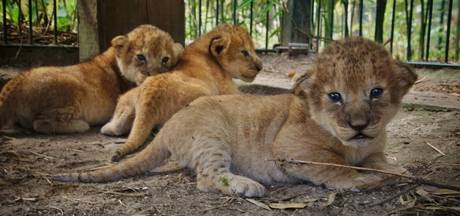 Drieling leeuwenwelpjes geboren in Safaripark Beekse Bergen