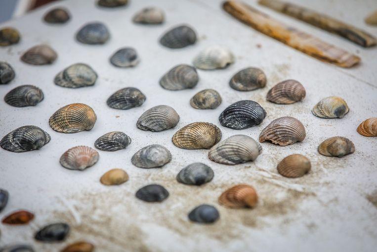 De Halfgeknotte strandschelp en de Kokkel zijn de talrijkste schelpen