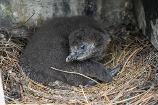 De dierentuin is erg gelukkig mee: een jonge Afrikaanse pinguïn.