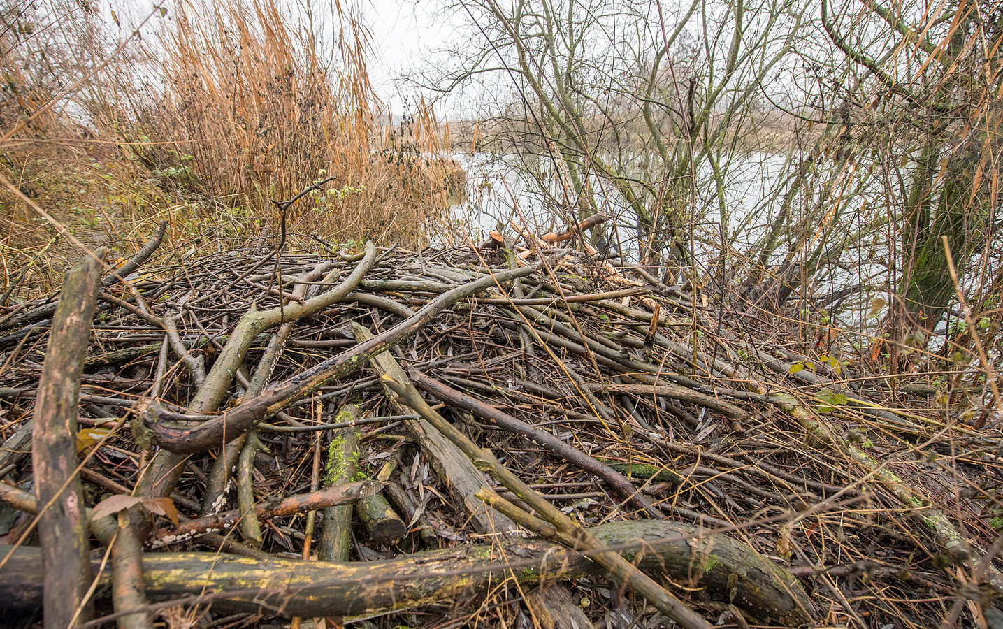 Een beverburcht bij Empel. Zover is het nog niet bij Haanwijk en Oud Herlaer, maar er is wel volop schade aan de dijk en 'graverij' van de bever.