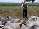 Schaapherder loopt rond in Oudewater met zijn bijdehandjes en doerakken