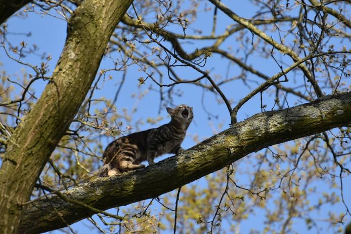 De brandweer van Steenwijk is donderdagochtend aan de Harmen van Swinderenstraat bezig geweest om een kat met hoogtevrees uit een boom te halen.