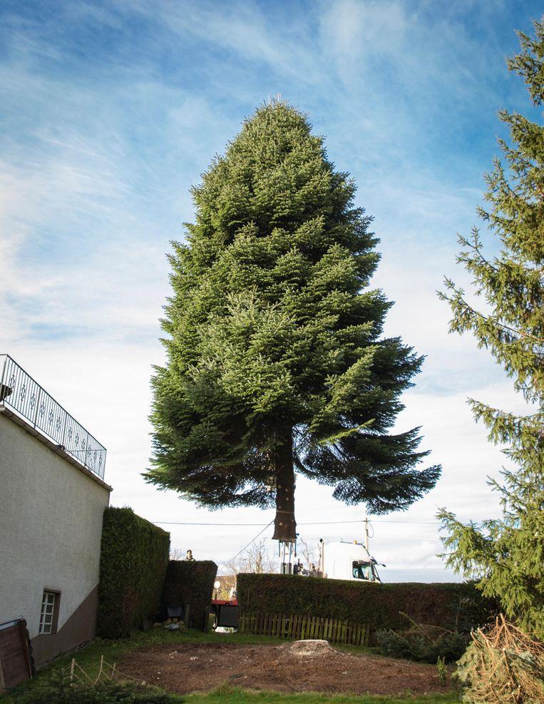 Elk jaar wordt een zoektocht op poten gezet naar een geschikte boom in iemands tuin Beeld Dingena Mol