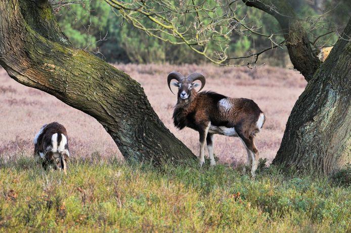 De moeflon lijkt verdwenen van de Noord-Veluwe. De exoot is al een jaar niet meer gezien in de buurt van Vierhouten. Als oorzaak wordt de wolf aangewezen.