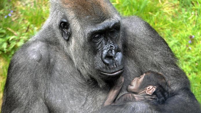 Moeder Tamani met gorillababy Thabo.
