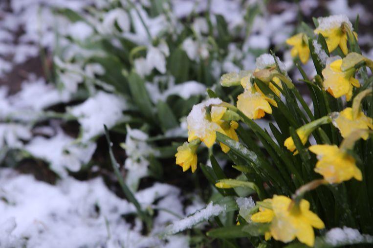 De eerste sneeuw geselt de bloemen.
