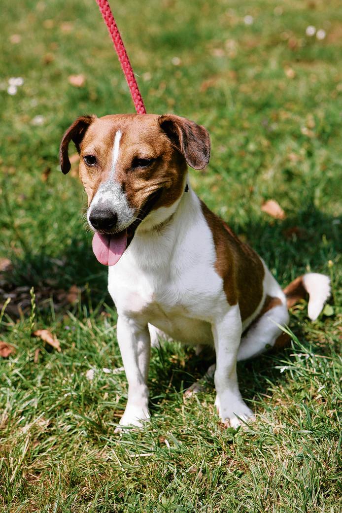 De Jack Russel van de overleden Apeldoorner is terecht. Het hondje (vergelijkbaar met het dier op deze archieffoto) dook op bij de plek van het ongeval.