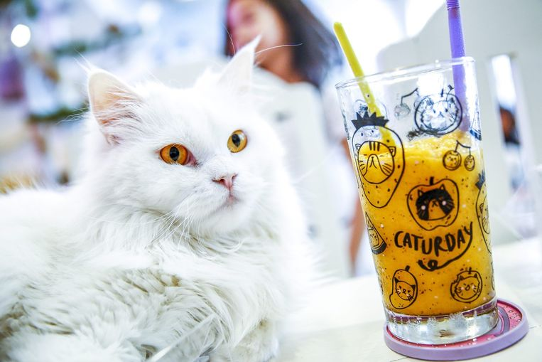 Het Caturday cat café in Bangkok, Thailand. Beeld epa