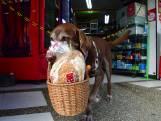 Labrador Eros brengt boodschappen rond in Colombia