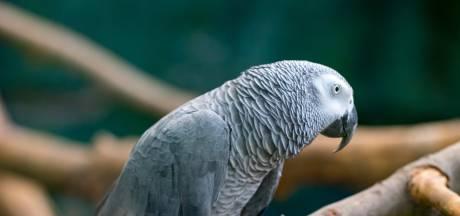 Des perroquets retirés d'un zoo parce qu'ils insultaient les visiteurs