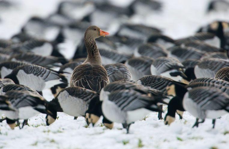Een grauwe gans tussen brandganzen. Het aantal grauwe ganzen in Nederland neemt toe. Van veel andere vogelsoorten krimpt de populatie in Nederland juist, zo rapporteert Nederland aan de Europese Commissie. Beeld ANP