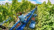 Druivenpluk voor tweede jaar op rij uitzonderlijk vroeg van start op wijndomein Entre-Deux-Monts