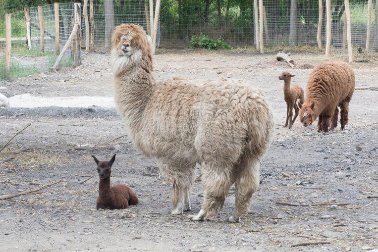 In La Biomista in Genk zijn 2 Alpaca's geboren: Labio en Mista