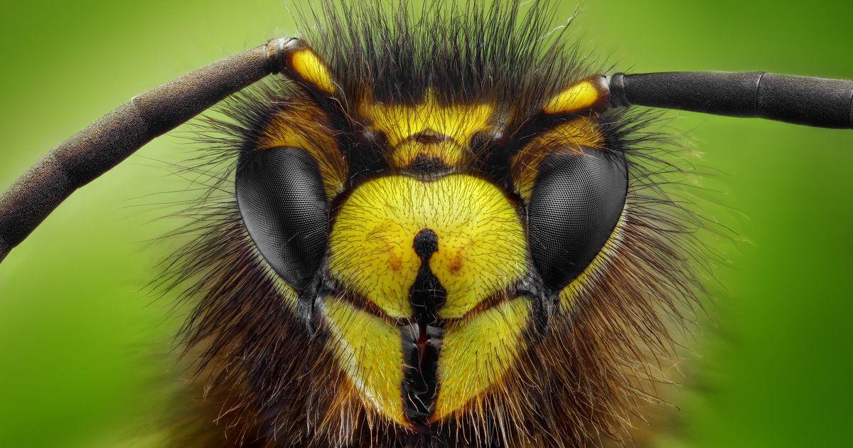 waarom u dat wespennest beter laat hangen dieren. Black Bedroom Furniture Sets. Home Design Ideas