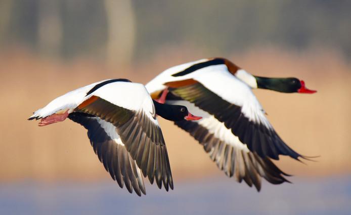 Bergeenden in volle vlucht. Rechts, met knobbel op de snavel, het mannetje. Foto Hennie Gunnink.