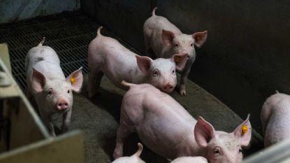 SamenGROEN is het niets eens met aanvraag uitbreiding varkensbedrijf Zuurbemde