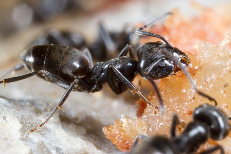 Het mediterraan draaigatje (Tapinoma nigerrimum) is een mierensoort die in kolonies van wel 120 meter lang kunnen leven. Beeld Imageselect