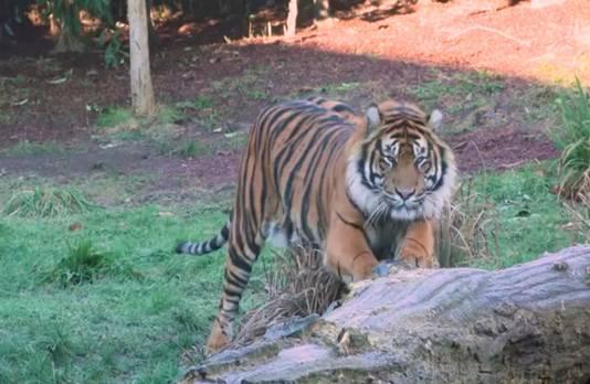 Tijger Asim in London Zoo.