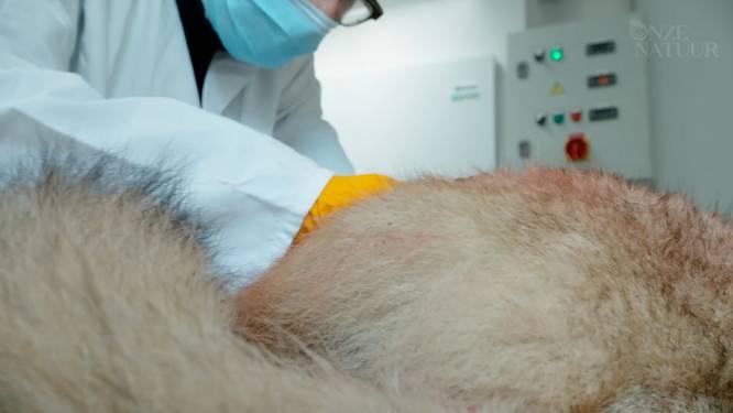 Wolven op de snijtafel: dit leren wetenschappers uit  autopsie