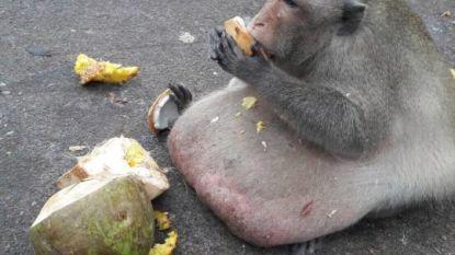 Verzorgers vrezen voor leven van wereldberoemde obesitasaap Uncle Fatty