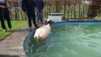 Ontsnapte koe belandt in zwembad
