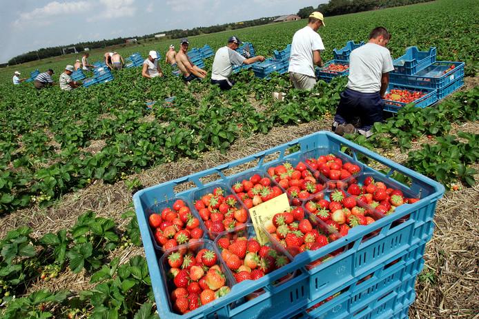 Roemeense arbeidsmigranten aan het werk in de aardbeienpluk.