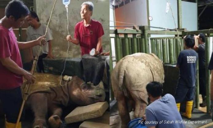 Tam, de laatste Sumatraanse neushoorn van Maleisië, stierf in mei op hoge leeftijd.