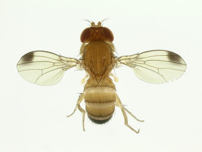 De meeste vliegjes hebben de milde winter goed doorstaan. Telers verwachten dat de 'Suzuki-horror' half augustus losbarst.
