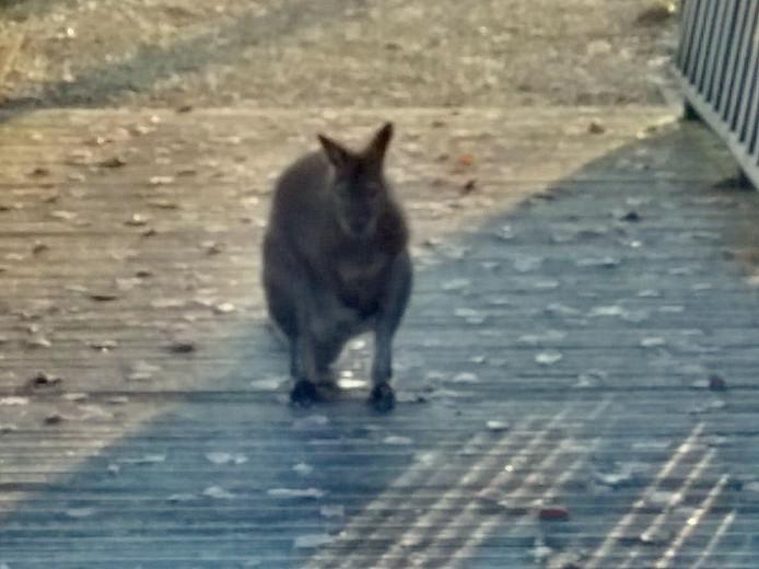 De wallaby is gespot bij de klok op het nieuwe gedeelte van de Culemborgse begraafplaats.