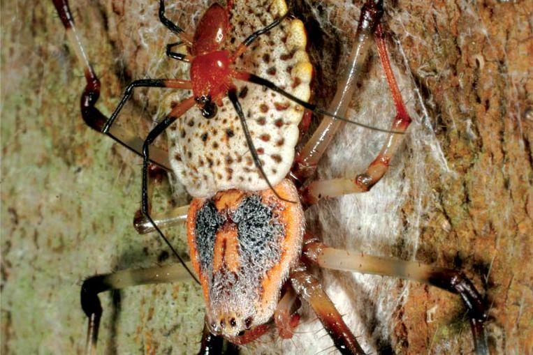 Vrouwtje van de ontdekte reuzenwielwebspin met mannetje op haar rug. (Foto PLos One) Beeld null
