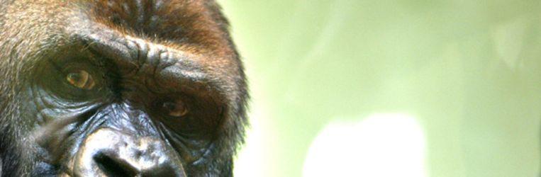 De gorilla Bokito uit Diergaarde Blijdorp. (ANP) Beeld