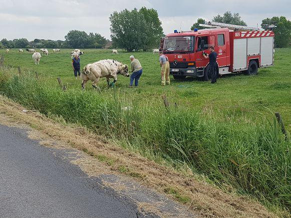 De stier stond meteen recht en bleef ongedeerd, maar was allicht wel uitgeput.