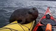 Schattig: deze zeehond wil wat graag mee kajakken