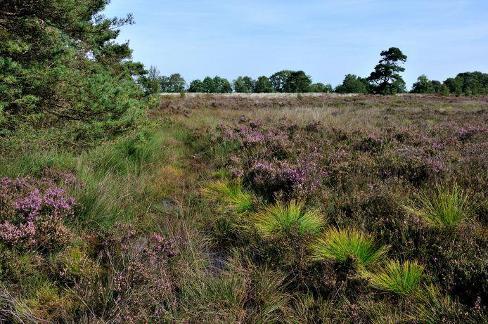 De heide staat in bloei op de Oude Buisse Heide. Het is er ook erg droog.