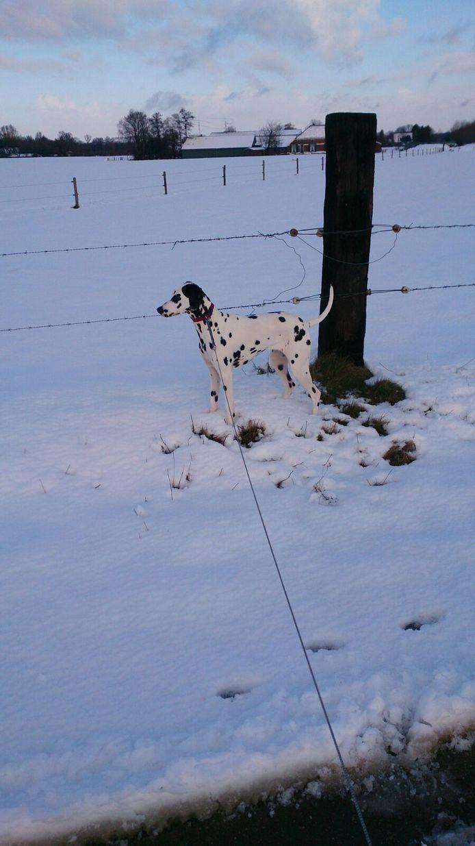 Dalmatiër in de sneeuw in Hengelo.
