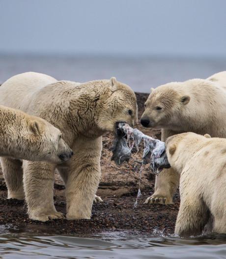 Dorpje in Alaska overspoeld met hongerige ijsberen én toeristen