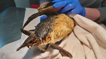 """Al 5 met olie besmeurde zeekoeten aangespoeld op het strand: """"Breng ze naar het vogelopvangcentrum voor het te laat is"""""""