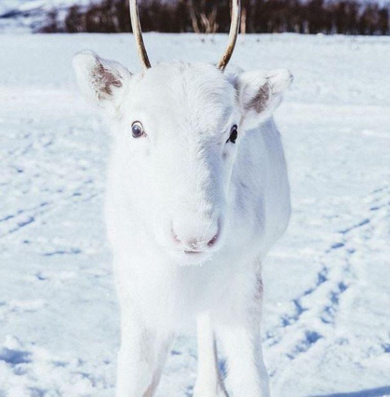 Noorse fotograaf spot zeldzaam wit elandkalfje