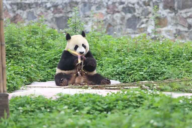Mannetjes panda Xing Ya. Beeld anp