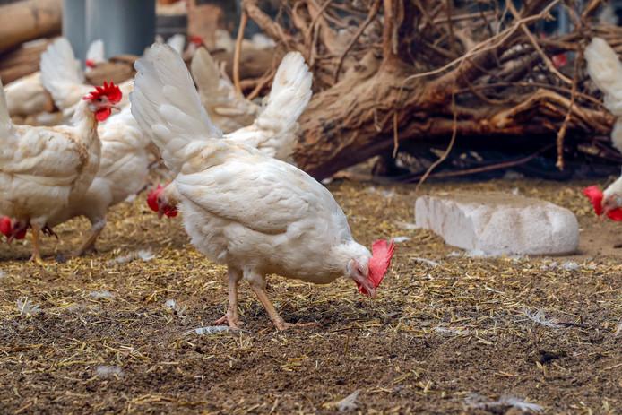 Kippen in de nieuwe Kipster-stal.