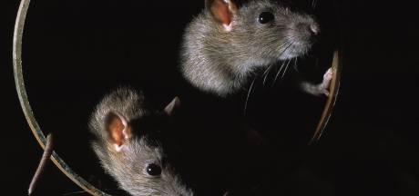 Te slimme rat zorgt wéér voor stroomstoring in Flevoland: tijd voor het zware werk