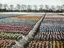 Velden vol tulpen, hyacinten en narcissen: ook Voorne had vroeger bollencultuur