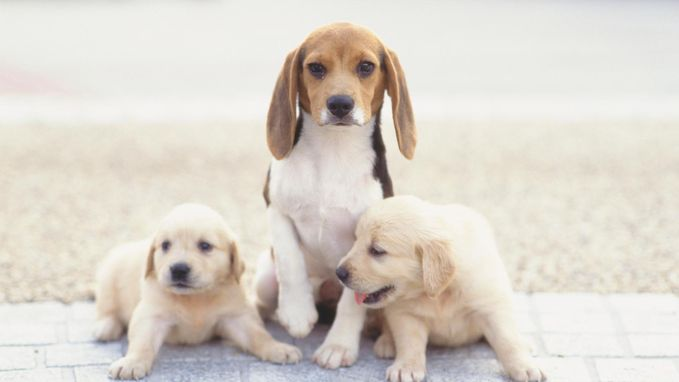 """""""Puppy's kunnen schuldig kijken"""": 3 hondenmythes ontkracht"""