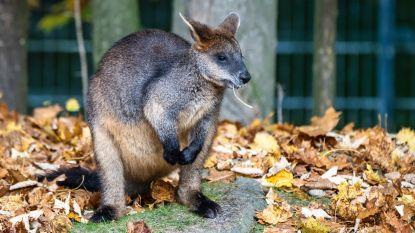 Moeraswallaby is levenslang zwanger